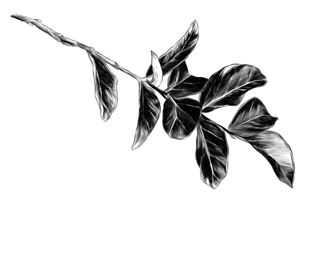 tree branch with round thick leaves, sketch vector graphics monochrome illustration 일러스트