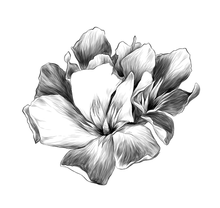 a bouquet of three flower buds called oleander, sketch vector graphics monochrome illustration Stock Photo