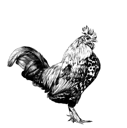 cock stands in full height sideways, sketch vector graphics monochrome illustration on white background