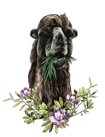head of a camel chewing grass with a branch in the form of a frame from the bottom of the leaves and flowers of oleander, sketch vector graphics color illustration Ilustrace