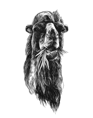 head of a camel chewing grass, sketch vector graphic monochrome illustration