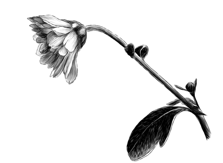 chrysanthemum flower tilted down on a stem with leaves, sketch vector graphics monochrome illustration