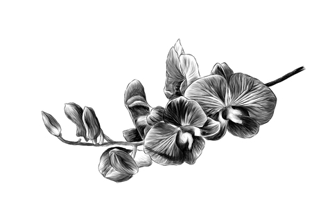 branch of Orchid flowers with bloomed flowers and buds, sketch vector graphics monochrome illustration