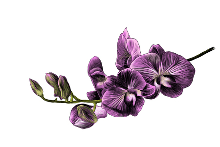 branch with Burgundy Orchid flowers with blooms and buds, sketch vector graphics color illustration