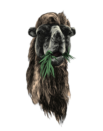 head of a camel chewing grass, sketch vector graphic color illustration