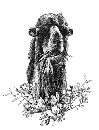 head of a camel chewing grass with a branch in the form of a frame from the bottom of the leaves and flowers of oleander, sketch vector graphics monochrome illustration