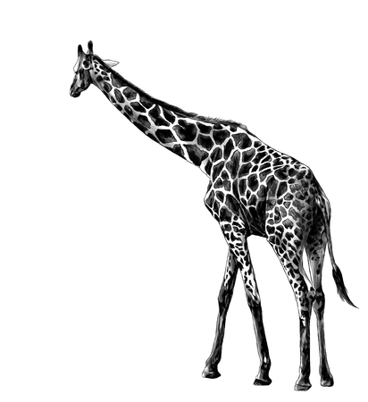 giraffe in full growth goes sideways, sketch vector graphics monochrome illustration