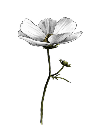 Loose white flower on stem with a small stem with an unopened Bud, sketch vector graphics color illustration on white background