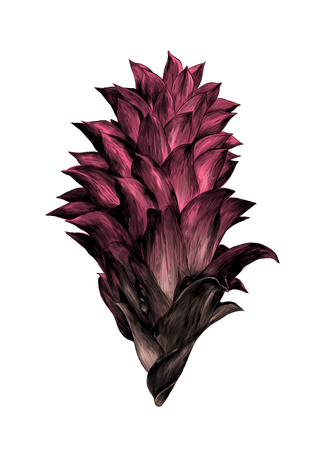 Prickly flower Bud aechmea magdalenae, sketch vector graphics color illustration on white background Stock Photo