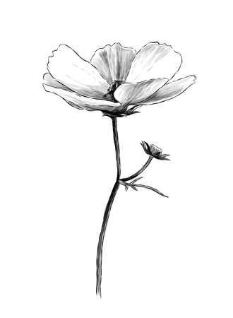 Uncool white kosmeya flower on a stalk with a small offshoot with unopened buds, sketch vector graphics monochrome illustration on white background