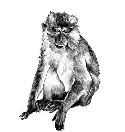 macaque sitting in full height on white background, sketch vector graphics monochrome illustration