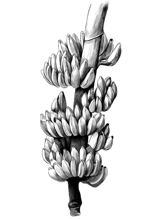 large bunch of bananas on a thick branch, sketch vector graphics monochrome illustration Banco de Imagens