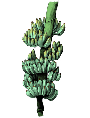 large bunch of bananas on a thick branch, sketch vector graphics color illustration Illustration