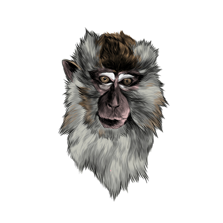head of macaque in full face on white background, sketch vector graphic color illustration