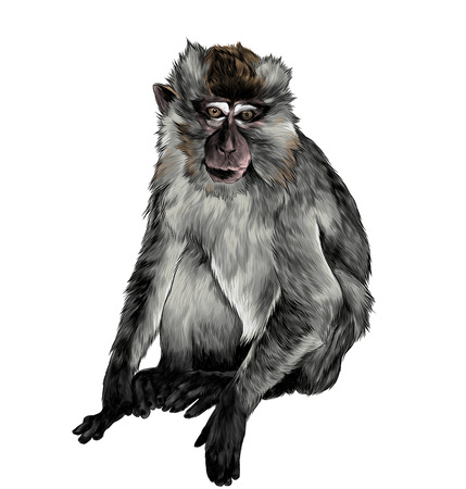 macaque sitting in full height on white background, sketch vector graphic color illustration