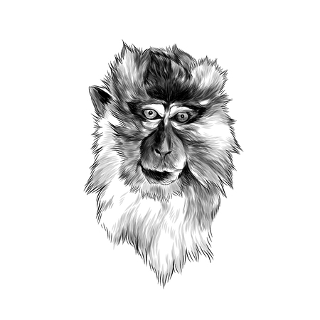 head of macaque in full face on white background, sketch vector graphics monochrome illustration Фото со стока