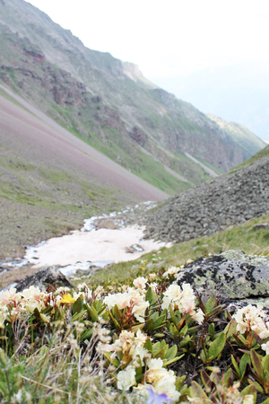 white flowers on the background of mountains, mountain river and a large pile of snow near a lot of stones and boulders in the background, Kabardino-Balkaria 版權商用圖片