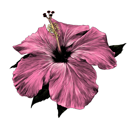 hibiscus flower close - up of a loose Bud with leaves, sketch vector graphic color illustration on white background