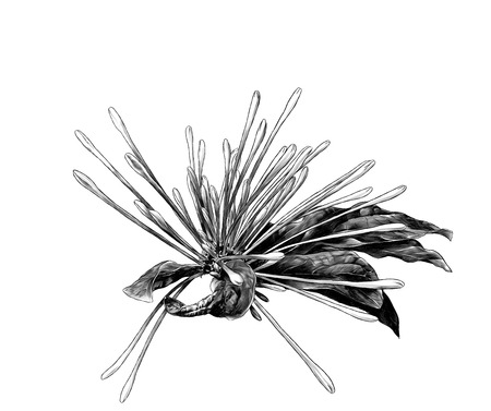 flower of clerodendrum with unopened buds in the form of narrow protruding processes in different directions with shriveled leaves on the sides, sketch vector graphics monochrome illustration
