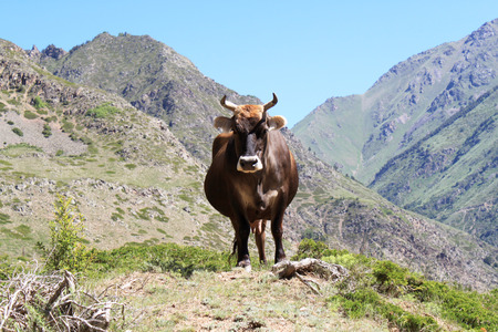a cow stands on a background of mountains, Elbrus region of Kabardino-Balkaria Stock Photo