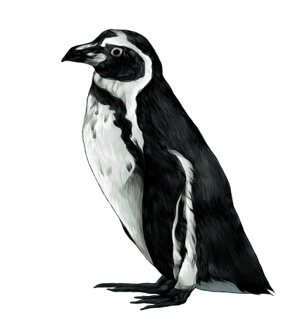 penguin stands in full height sideways in profile, sketch vector graphic color illustration on white background Imagens