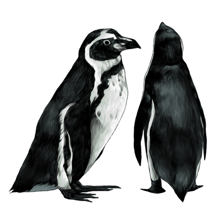 two penguins stand in full height one sideways second back, sketch vector graphic color illustration on white background