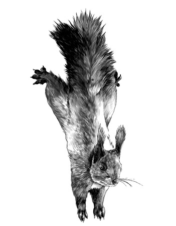 squirrel hanging with splayed legs in different directions crawling, sketch vector graphics monochrome illustration on white background Stock Photo