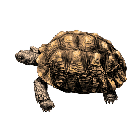 large land turtle with beautiful relief shell, sketch vector graphic color illustration on white background 스톡 콘텐츠