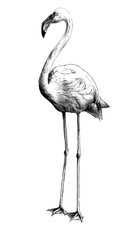 Flamingo bird stands full-length, sketch vector graphics monochrome illustration on white background