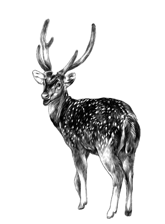 spotted deer stands tall with his back turned with his head turned turns back, sketch vector graphics monochrome illustration on white background