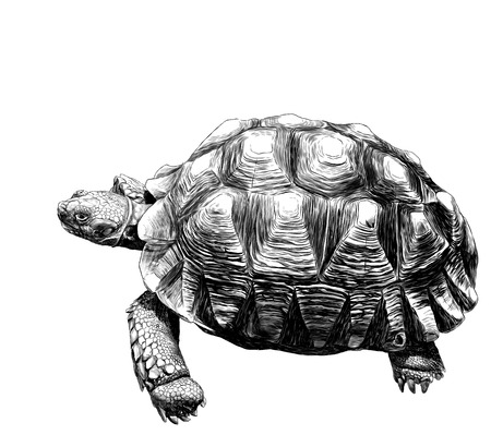 large land turtle with beautiful relief shell, sketch vector graphics monochrome illustration on white background