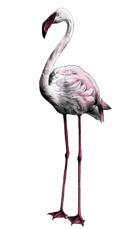 Flamingo bird stands full-length, sketch vector graphic color illustration on white background