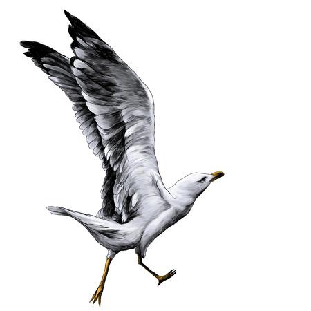Gabbiano con le ali sollevate in esecuzione e si prepara a volare, illustrazione a colori grafica vettoriale di schizzo su sfondo bianco Vettoriali