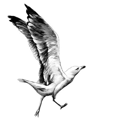 Gabbiano con le ali sollevate corre e si prepara a volare, schizzo di grafica vettoriale illustrazione monocromatica su sfondo bianco