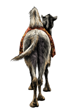 the camel stands with a Cape on the back of the rear view on ass and sticking his head to the side, sketch vector graphics color illustration on white background