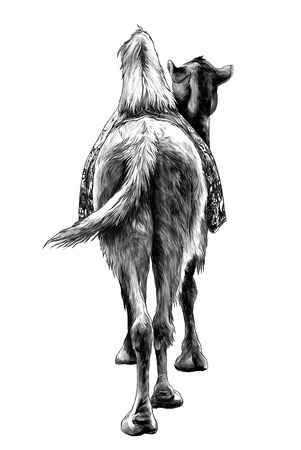 the camel stands with a Cape on the back of the rear view on and sticking his head to the side, sketch vector graphics monochrome illustration on white background