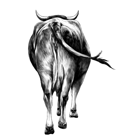 the cow is a rear view of the ass a little and sticking his head and horns, sketch vector graphics monochrome illustration on white background 스톡 콘텐츠