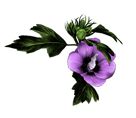 hibiscus Bud Siberian flower with leaves, sketch vector graphic color illustration on white background