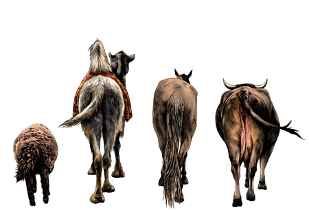 set of animals from the back of a sheep camel horse and the cow and the ass go ahead , sketch vector graphics color illustration on white background