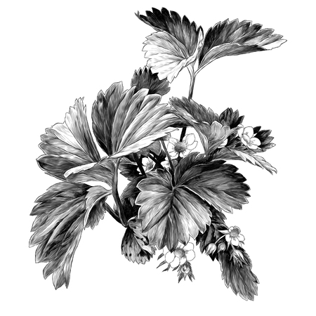 strawberry Bush with flowers, sketch vector graphics monochrome illustration on white background