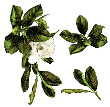 Satz von Magnolienzweigen mit Blumen und Blättern, Skizzenvektorgrafik-Farbillustration auf weißem Hintergrund Vektorgrafik