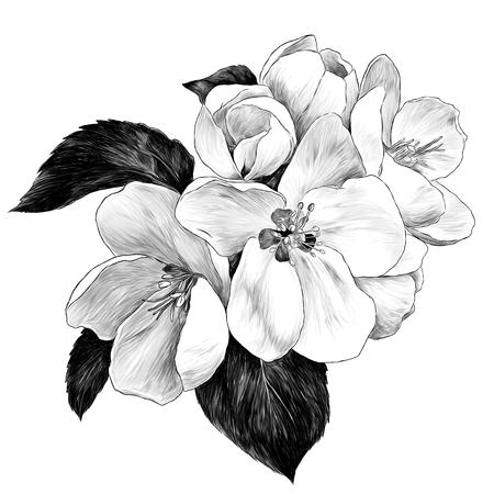 Flores de manzana con hojas en una rama, dibujo ilustración monocroma de gráficos vectoriales sobre fondo blanco.