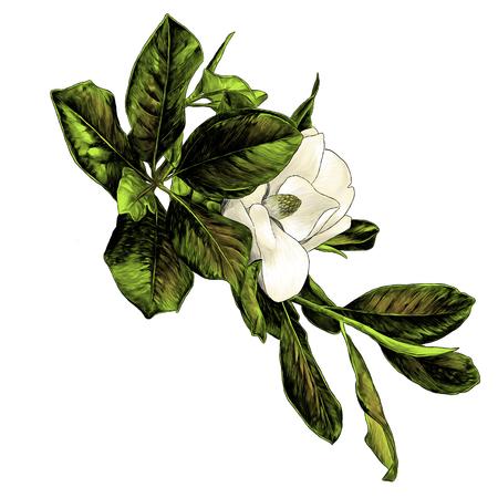 Magnolienzweig mit Blumen und Blättern, Skizzenvektorgrafik-Farbillustration auf weißem Hintergrund