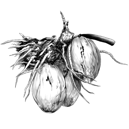 branch with three coconuts, sketch vector graphics monochrome illustration on white background