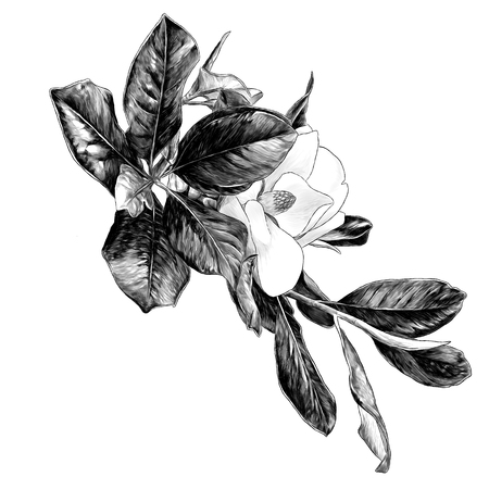 Magnolia branch with flower and leaves, sketch vector graphics monochrome illustration on white background Иллюстрация