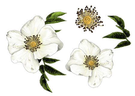 rose hip flower with leaves set of multiple elements, sketch vector graphic color illustration on white background