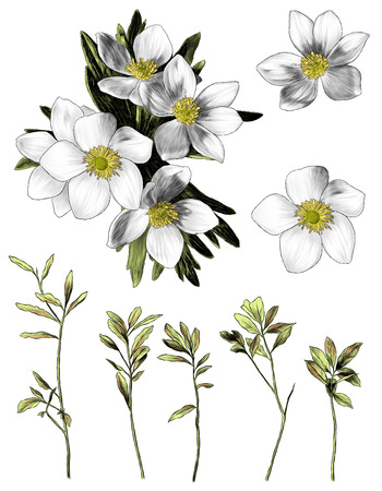 flowers anemone with leaves bouquet branch set of multiple elements sketch vector graphics color illustration on white background