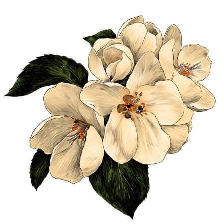 Flores de manzana con hojas en una rama, dibujo ilustración de color gráfico vectorial sobre fondo blanco.