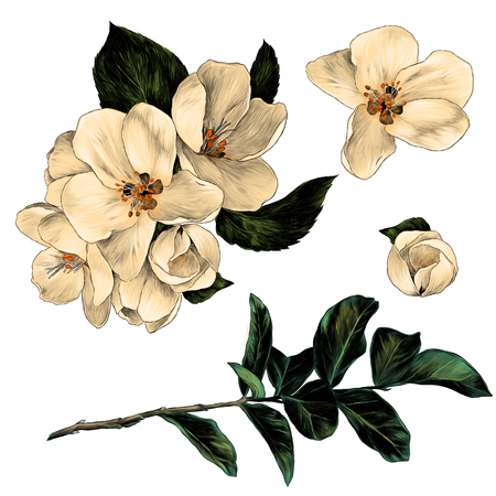 set of Apple flowers with leaves on a branch, sketch vector graphic color illustration on white background
