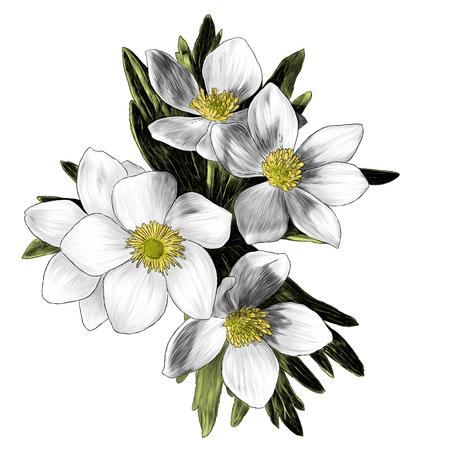 Anémona de flores con rama de ramo de hojas, ilustración de color gráfico de vector de boceto sobre fondo blanco